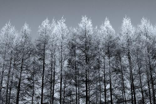 フリー写真素材|自然・風景|樹木|雪|日本|北海道|