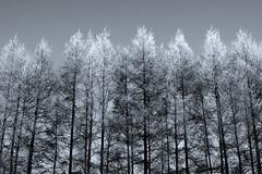 [フリー画像] 自然・風景, 樹木, 雪, 日本, 北海道, 201102131900