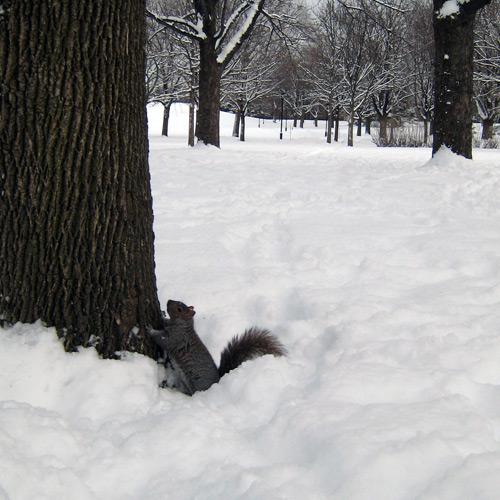 Ecureuil dans un parc enneigé