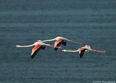 4-2 (ZiZLoSs) Tags: canon eos flamingo 7d usm aziz abdulaziz  f56l ef400mmf56lusm zizloss  ef400mm 3aziz canoneos7d almanie abdulazizalmanie httpzizlosscom