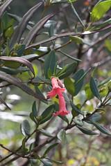 Thibaudia sp. (Ericaceae)