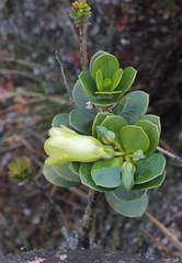 Rogersonanthus quelchii (Gentianaceae)