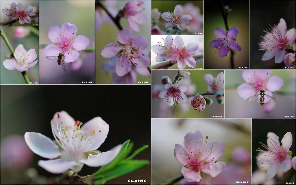 拉拉山的正桃花