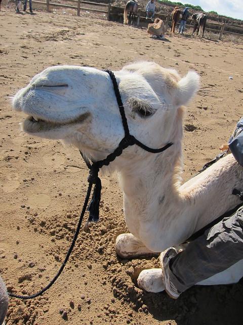 Grinning Camel