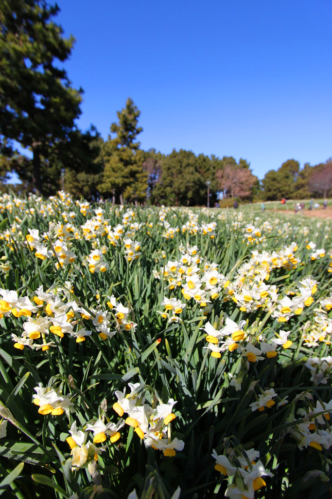 Kasai Rinkai Park Narcissus Festival (9)