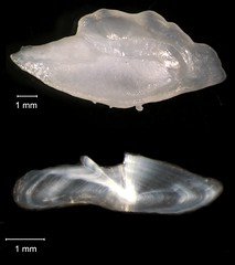 Bank Sea Bass Otolith (FWC Research) Tags: fish florida research otolith