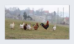 Hahn und Hühner (steffi's) Tags: bird animals schweiz switzerland suisse ar farm cock huhn rooster henne svizzera hen ch chanticleer vogel appenzell hahn hühner gais featheryfriday gallusgallusdomesticus appenzellausserrhoden haushuhn kantonappenzellausserrhoden hühnerschar