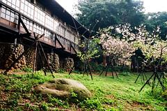 . (Kuang-Wen Li) Tags: taiwan sakura    nikonfa kodakektar100   nikonais28mmf28