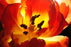 Pomienie (Flames) (Janusz Sommer) Tags: flowers red flower fire tulip flakes kwiaty ogie kwiat tulipan czerwony theflames patki pomienie