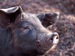 Sun Kissed Pig (sherone72) Tags: uk pink england animal lens piggy nose lumix pig northwest farm babe lancashire panasonic pigs g1 oldham piglet oink pigsty saddleworth 100300mm scouthead micro43 microfourthirds lumixdmcg1