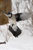 Flying in (labels_30) Tags: bluejay elkislandnationalpark labels30 flyingbluejay