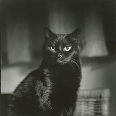 Black cat - portrait no. 1 - 7 point