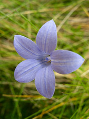 One of the many sub-alpine flowers Photo