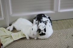 Uhnni is a good pillow. (parakkum) Tags: bunnies 22 rabbits february 2011