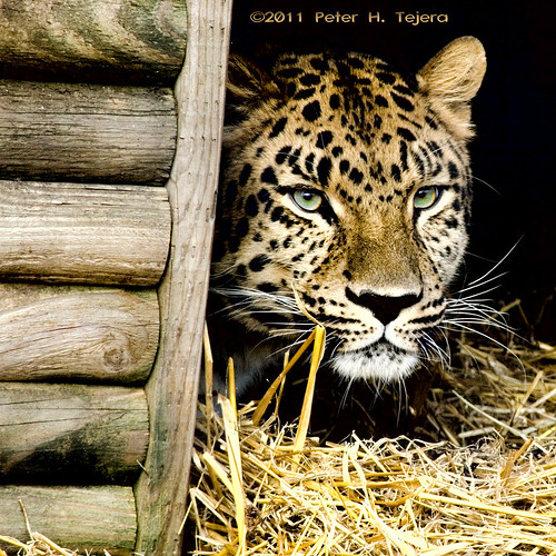 The-Shy-Leopard