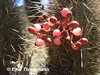 Tristerix aphyllus, frutos rojos (Chilebosque) Tags: del quisco loranthaceae quintral tristerix aphyllus tristerixaphyllus parásitas