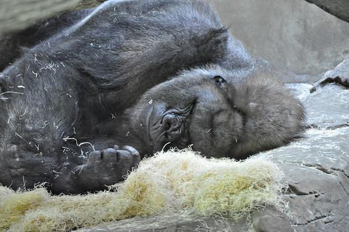 Sleeping Gorilla