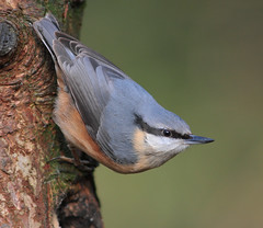 Nuthatch (Mk III) (alison brown 35) Tags: uk wild bird nature woodland march wildlife ngc 300mm nuthatch sittaeuropaea wigan countrypark haigh 2011 14x greenheart specanimal avianexcellence amazingwildlifephotography