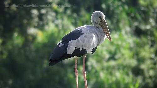 Asian Openbill Stork Anastomus oscitans 1