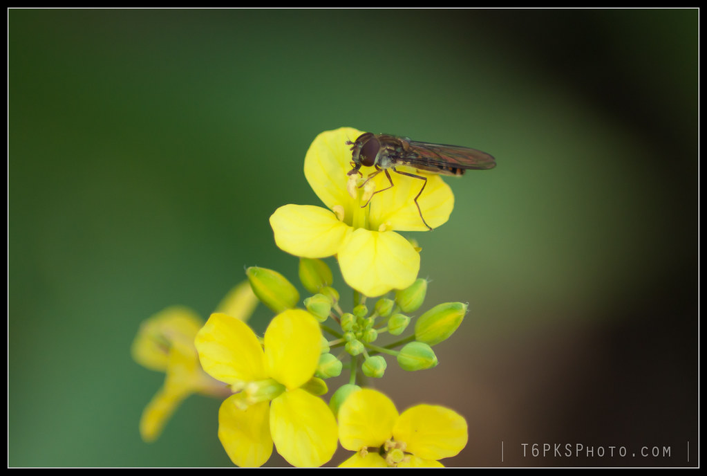 Mosca insecte flor groga, insect fly yellow flower