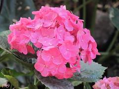 Quinta Flower! (Tiana  Ayres) Tags: birthday flower day flor dia quintaflower flavia quintafeira aniversrio fl hortnsia ternurinhas dasrie casadanonna