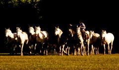 Atardecer (Eduardo Amorim) Tags: horses horse southamerica argentina criollo caballo cheval caballos cavalos pferde herd cavalli cavallo cavalo gauchos pferd pampa hest hevonen chevaux gaucho  amricadosul hst gacho  campero amriquedusud provinciadebuenosaires  gachos  sudamrica sanantoniodeareco suramrica amricadelsur  areco sdamerika gregge crioulo troupeau caballoscriollos herde criollos  tropillas  pampaargentina camperos americadelsud tropilhas tropilla  crioulos cavalocrioulo americameridionale tropilha caballocriollo campeiros campeiro eduardoamorim cavaloscrioulos iayayam yamaiay pampaargentino