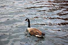 b'ham goose