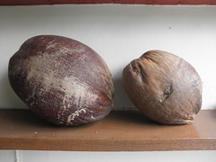 Comparing Coconuts - Malayan Tall & Malayan Re...