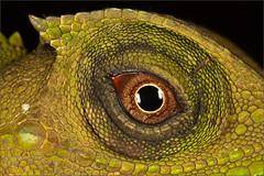 Hump snout lizards Eye (Priyal Mahendre   Sri Lanka) Tags: macro eye rain lizard rathnapura lyriocephalusscutatus priyalmahendre forestx gatahombukatussa karamalbodiliya lyreheadlizard humpsnoutlizard photosofsrilankaimages gilimale gilimale