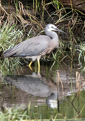 White-faced Heron (Jack High) Tags: bird heron aves ardea wetlands whitefacedheron mountbarker egrettanovaehollandiae adelaidehills laratinga ardeanovaehollandiae accordingtoclements5thandabove