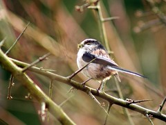 Long Tailed Tit by Marc Davison, on Flickr