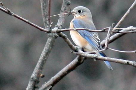 bluebird 024