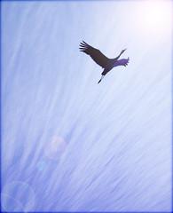 In Flight (jackaloha2) Tags: sun bird clouds photoshop canon fly flying inflight wings glare wildlife flight fowl migration soaring sandhillcranes canoneosdigitalrebelxsi magicunicornverybest selectbestexcellence sbfmasterpiece jackaloha2 mygearandme mygearandmepremium