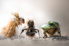 The April fool's Gang (cliccath) Tags: macro photomanipulation photoshop bug fly bumblebee lepidoptera caterpillar illusion noctuidae chenille mouche bombus macrophotography