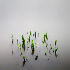 Reeds LE (Geoffrey Gilson) Tags: iris lake color green