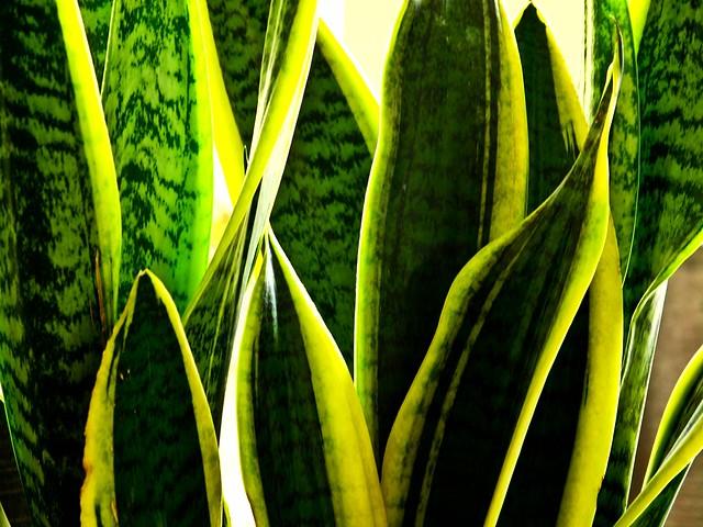 IMG_1723  Sansevieria  Trifasciata ,虎尾兰
