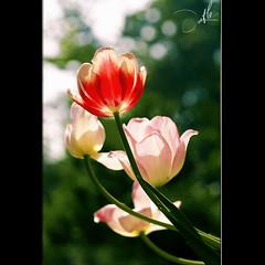 Tulip in Sunlight (t L) Tags: flowers sunlight flower macro nikon vietnam micro tulip 60mm nikkor saigon f28 d300 sign tphcm tl datphat datphat82