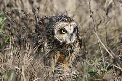 On the hunt (Paridae) Tags: owl shortearedowl owlhunting birdsofboundarybay