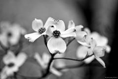 Dogwoods Are Blooming!! (raisinsawdust - (aka: tennphoto)) Tags: bw spring nikon bokeh tennessee blossoms dogwood 2011 d90 floweringdogwood nikond90