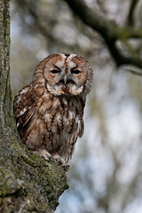 Tawny Owl (Ian Hayhurst) Tags: owl tawny canonef200mmf28liiusm avianexcellence