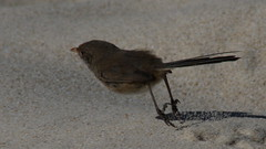 White-winged Fairy-wren Makes the Sand Fly (WA47) Tags: australia westernaustralia citybeach passeriformes malurus maluridae floreatbeach whitewingedfairywren malurusleucopterus malurusleucopterussspleuconotus