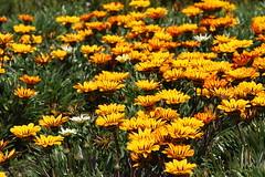 Yellow spring (LusoFox) Tags: portugal europa europe algarve portimo praiadarocha canonef70200mmf4lisusm canoneos7d wonderfulworldofflowers