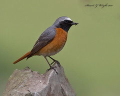 Male Redstart (Stuart G Wright Photography) Tags: bird birds wales g wildlife stuart wright redstart