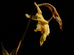 Old  Daff (algo) Tags: old uk england black yellow bravo daffodil dried wizened picswithsoul backgroundalgo
