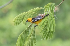 Streak-backed Oriole (arthurpolly) Tags: avian avianexcellence beautiful birds canon 7dmk2 eos 100400is 100400l costarica elements13 flickrdiamond impressedbeauty nature naturesfinest nationpark oriole photoshop platinumphoto passionphotography wildlife birding streakbackedoriole