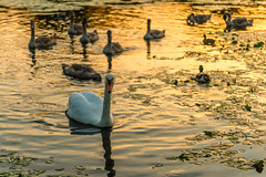 Swans at Sunset (Keith Grafton) Tags: canalulverston sunset cygnets birds