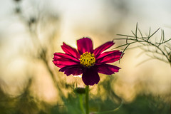 Shine on (marionrosengarten) Tags: flower pink cosmea nature green magenta petals sunset sundown light evening nikon 50mmf18 shine plant last