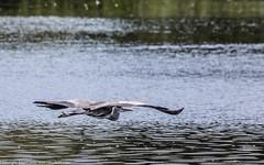 9Q6A6808 (2) (Alinbidford) Tags: alinbidford alancurtis brandonmarsh kingfisher greyheron heron kestrel
