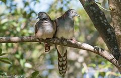 Bar-shouldered Dove (Stewart M) Tags: 2016 barshoulderdove darwin dove eastpoint nt northernterritory pigeon bird geopeliahumeralis