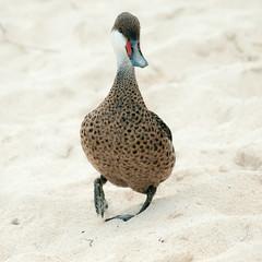 ocean stroll (spylaw01) Tags: birdperfect stthomas islands virgin ocean beach sand duck stroll